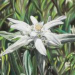 Edelweiss au pastel sec