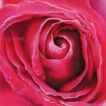 Rose rose foncé au pastel sec
