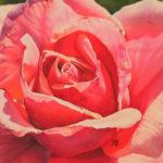 Rose ensoleillée au pastel sec