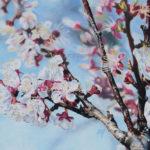 Abricotier du jardin au pastel sec