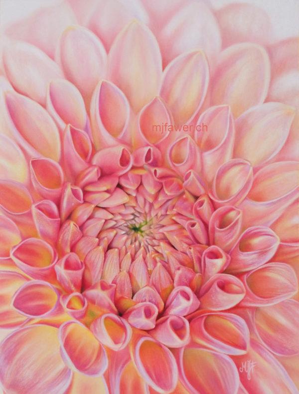 Dahlia rose, pastel sec