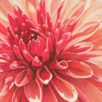 Dahlia rouge, pastel sec