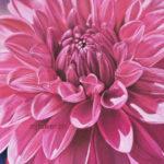 Dahlia mauve, pastel sec